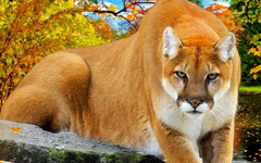 Puma Animal Wallpapers HD Find best latest Puma Animal Wallpapers HD