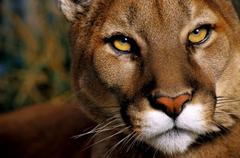 Jumping Puma Animal Wallpapers Hd