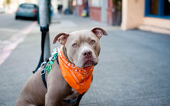 Pit Bull Wallpapers