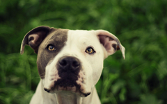 Pit Bull Dog HD Wallpapers