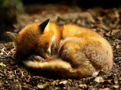 sleeping red fox wallpaper jefferson and myths being corrupt and