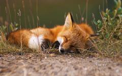 Red fox Alaska
