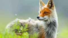 Red fox in Chukotka Russia