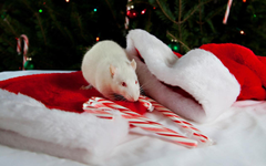 Wallpapers Rats New year Winter hat Holidays