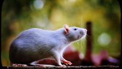 Bokeh macro mice rats wallpapers