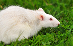 Pictures of Cute Rats Wallpapers