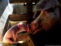Mother Pig and Piglet Picture Animal Wallpapers