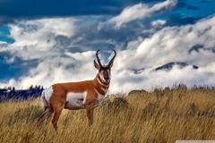 Pronghorn Antelope Ultra HD Desktop Backgrounds Wallpapers for