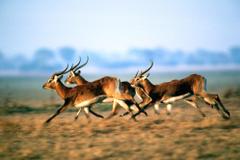 Antelope HD Wallpapers