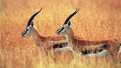Antelope Wallpapers