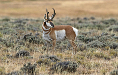 Wallpapers horns mammal antelope pronghorn image for