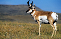 Pronghorn Antelope Latest Hd Wallpapers