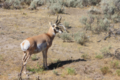 stock photo of antelope pronghorn