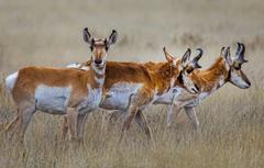 Wallpapers grass horns the herd antelope pronghorn image