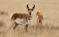 Wallpapers grass nature horns antelope pronghorn image
