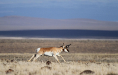 Wallpapers field wildlife pronghorn image for desktop