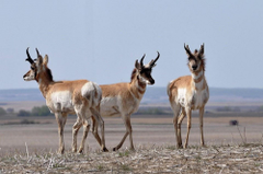 stock photo of antelope grazing pronghorn