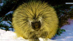 Porcupine Wallpapers