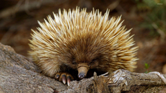 Porcupine 2 wallpapers