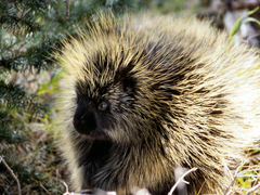 Porcupine Wallpapers and Backgrounds