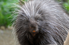 Most viewed Porcupine wallpapers