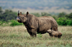 Kamal Shah Black Rhinoceros HD Wallpapers