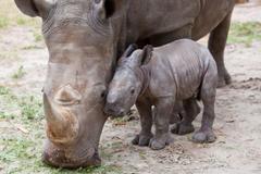 Javan Rhinoceros Wallpapers Top 46 Quality Cool Javan Rhinoceros