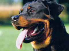 Image For Rottweiler Wallpapers