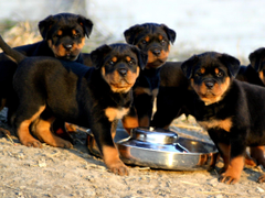 Cute rottweiler puppies eating wallpapers