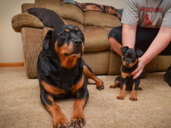 Mother and baby of rottweiler wallpapers