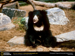 Sloth Bear Wallpapers