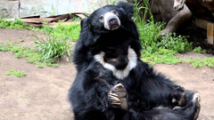 Sloth Bear at the San Diego Zoo