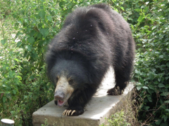 Indian sloth bear the real life baloo