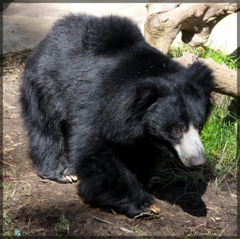 Sloth bear Desktop Backgrounds