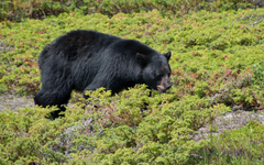 Black bear walking through the green small plants wallpapers