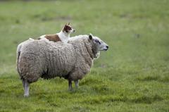 Sheep HD Wallpapers