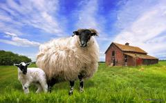 Sheep Wallpapers 12