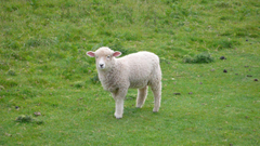 SHEEP wallpapers