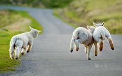 Sheep Wallpapers 26