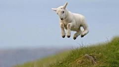 High Jump Cute Lamb