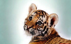 A selection of 10 Image of Tigers in HD quality