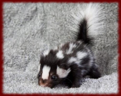 Cute Skunks wallpapers for Android