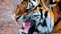 Wallpapers For Angry Siberian Tiger Wallpapers