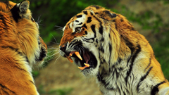 Angry Tiger wallpapers