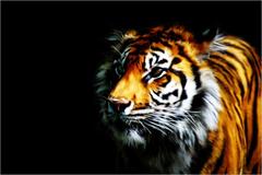 FunMozar Tiger Wallpapers