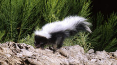 Why You Are Smelling Skunks This Week Cool Green Science