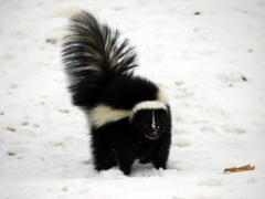 Skunks and Stink