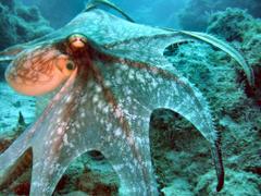 octopus wallpapers