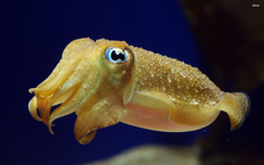 Best 58 Cuttlefish Wallpapers on HipWallpapers