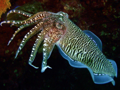 Cuttlefish HD Wallpapers